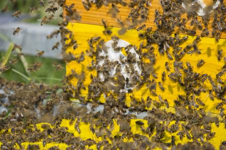 bee hive - bee breeding (Apis mellifera) close up Reklamní fotografie
