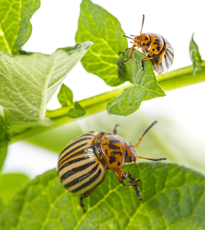 The Colorado potato beetle (Leptinotarsa decemlineata) -  pest of potatoes and tomatoes