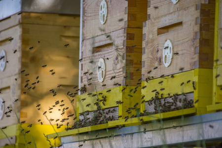 bee hives - bee breeding (Apis mellifera) close up