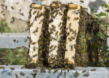 bee frames from bee hives - bee breeding (Apis mellifera) close up