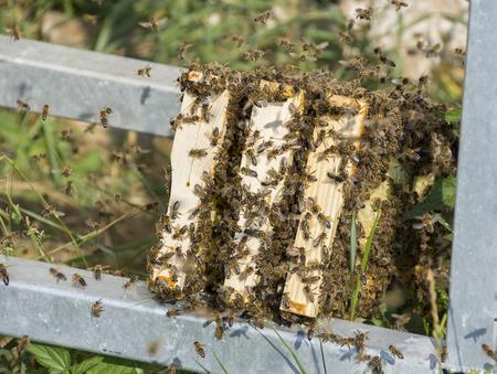 bee frames - bee breeding (Apis mellifera) close up
