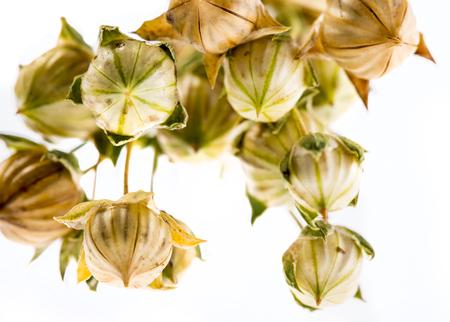 dry flax plant (Linum usitatissimum) close-up