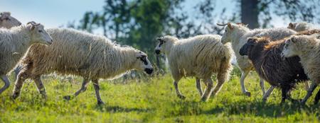 a sheep herd closeup on a meadow Reklamní fotografie