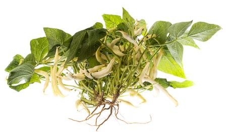 fresh bean plant close up on white background