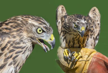 Northern Goshawk - Accipiter gentilis close up