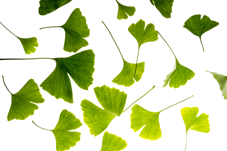 the background from fresh green Ginkgo biloba leaves