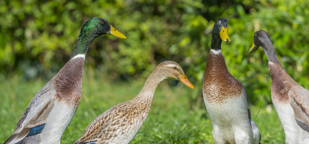 flock of indian runner ducks in the garden