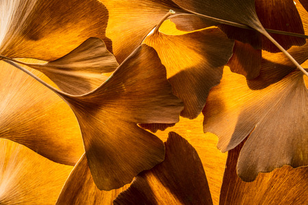 the background from autumnal Ginkgo biloba leaves