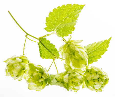 Hop plant isolated on a white background