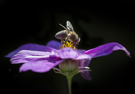 bee Apis mellifera on a pink flower in the garden