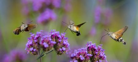 Hummingbird Hawk Moth (Macroglossum stellatarum) sucking nectar from flower in the garden