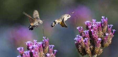 Hummingbird Hawk Moth (Macroglossum stellatarum) sucking nectar from flower in the garden Reklamní fotografie