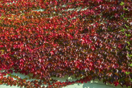 Boston Ivy - autumnal leaves Parthenocissus tricuspidata - floral texture close up