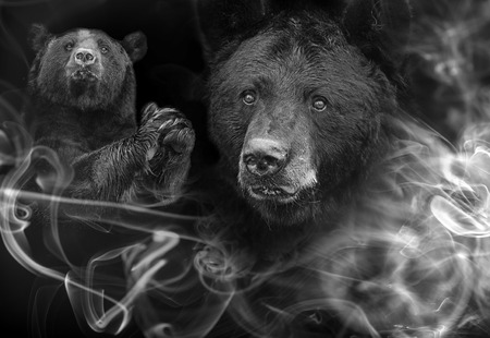 American black bear (Ursus americanus) the black and white art portrait