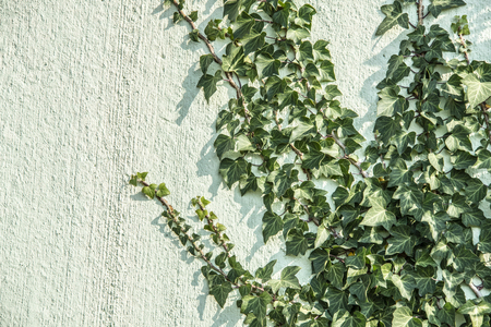 green ivy foliage Hedera helix on a wall - floral texture close up Reklamní fotografie
