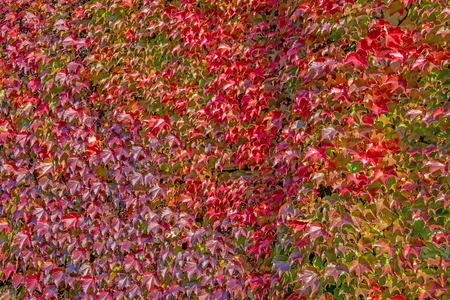 Boston Ivy - autumnal leaves Parthenocissus tricuspidata climbing up the wall - floral texture close up