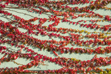 Boston Ivy - autumnal leaves Parthenocissus tricuspidata - floral texture close up