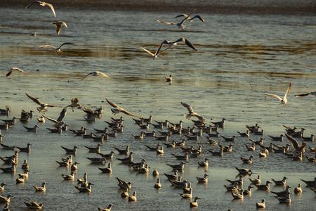 Black-headed Gull - Chroicocephalus ridibundus on a pond - catching fish after fishing pond 免版税图像