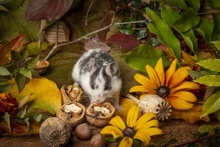 a pet hamster  Mesocricetus auratus close up