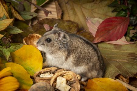 little pet hamster - Phodopus sungorus - close up