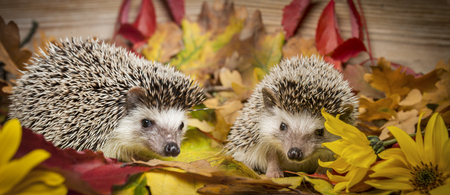 Four-toed Hedgehog (African pygmy hedgehog) - Atelerix albiventris 写真素材