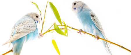 little blue wavy parrot on white background isolated Standard-Bild - 112395345