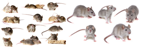 mice and rats isolated on white background - collection