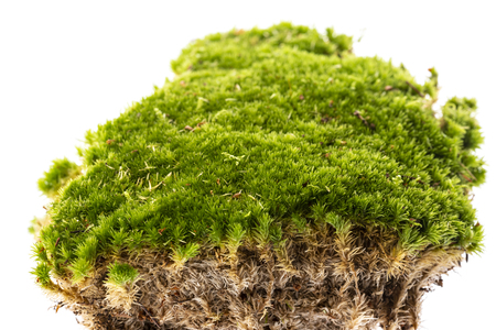 moss isolated on white close up