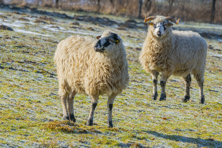 a sheep herd (breed - valaska) close up in winter