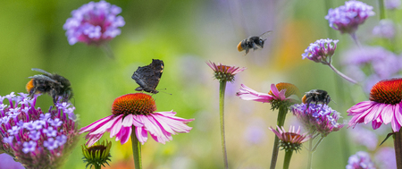 panoramic view - the garden with Echinacea flowers and butterfly and bumblebees 免版税图像 - 117287091