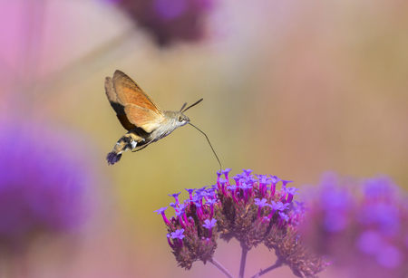 Hummingbird Hawk Moth (Macroglossum stellatarum) sucking nectar from flower in the garden