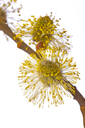 Salix caprea, goat willow, pussy willow, great sallow, close up Banque d'images - 119180254