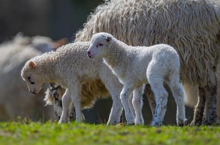 newborn lambs close up Фото со стока