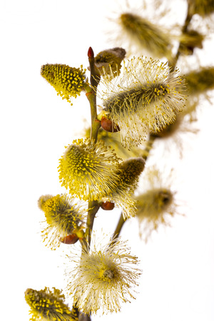 Salix caprea, goat willow, pussy willow, great sallow,