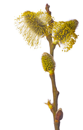 Salix caprea, goat willow, pussy willow, great sallow, close up Banque d'images - 119179834