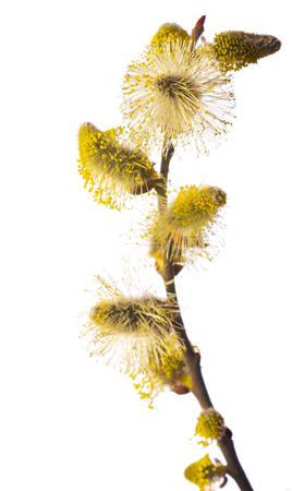 Salix caprea, goat willow, pussy willow, great sallow, Banque d'images - 119179868