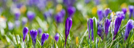 Crocus vernus - spring flowers close up in the detail