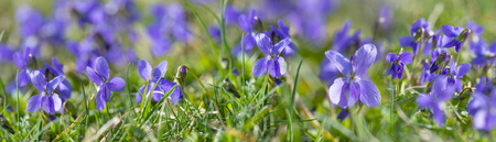 Viola odorata known as wood violet or sweet violet Stock Photo