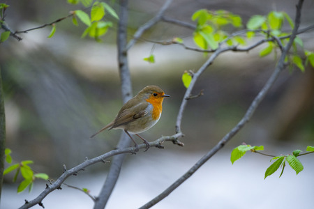 Red Robin (Erithacus rubecula) bird close up in a forest