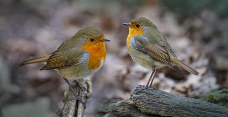 Red Robin (Erithacus rubecula) uccelli da vicino in una foresta