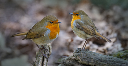 Red Robin (Erithacus Rubecula) Vögel hautnah in einem Wald a
