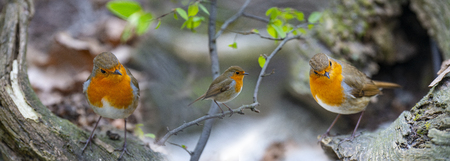 Red Robin (Erithacus rubecula) birds close up in a forest Stock Photo