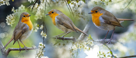 Red Robin (Erithacus rubecula) birds close up in the spring garden