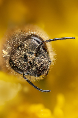 bee (apis mellifera) with pollen in the detail Banco de Imagens