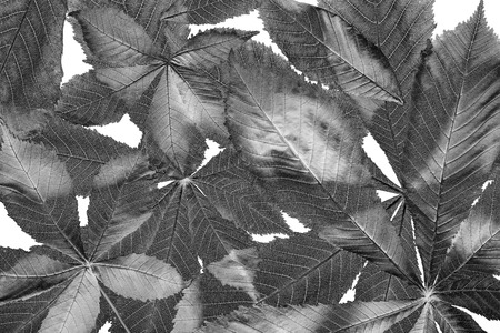 leaf from Horse chestnut tree - Aesculus hippocastanum Stok Fotoğraf