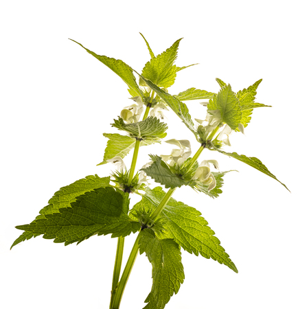 herb Lamium album - white nettle (white dead-nettle) healthy plant