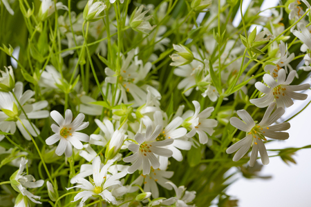 Stellaria holostea - white spring meadow flower close up in the detail