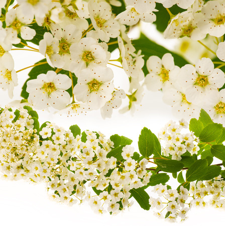 spiraea bush with white flowers isolated on a white background Stock Photo