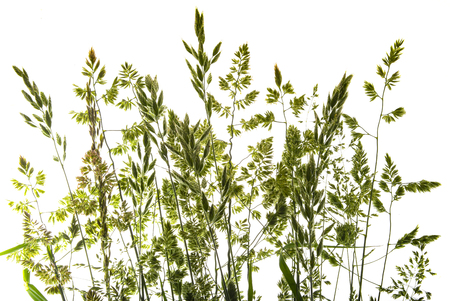 green flowering grass - shape isolated on a white background Archivio Fotografico
