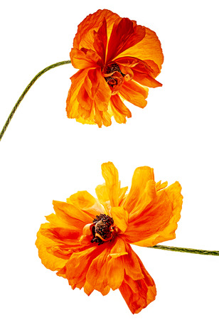red poppy isolated on a white background - Oriental poppy,perennial